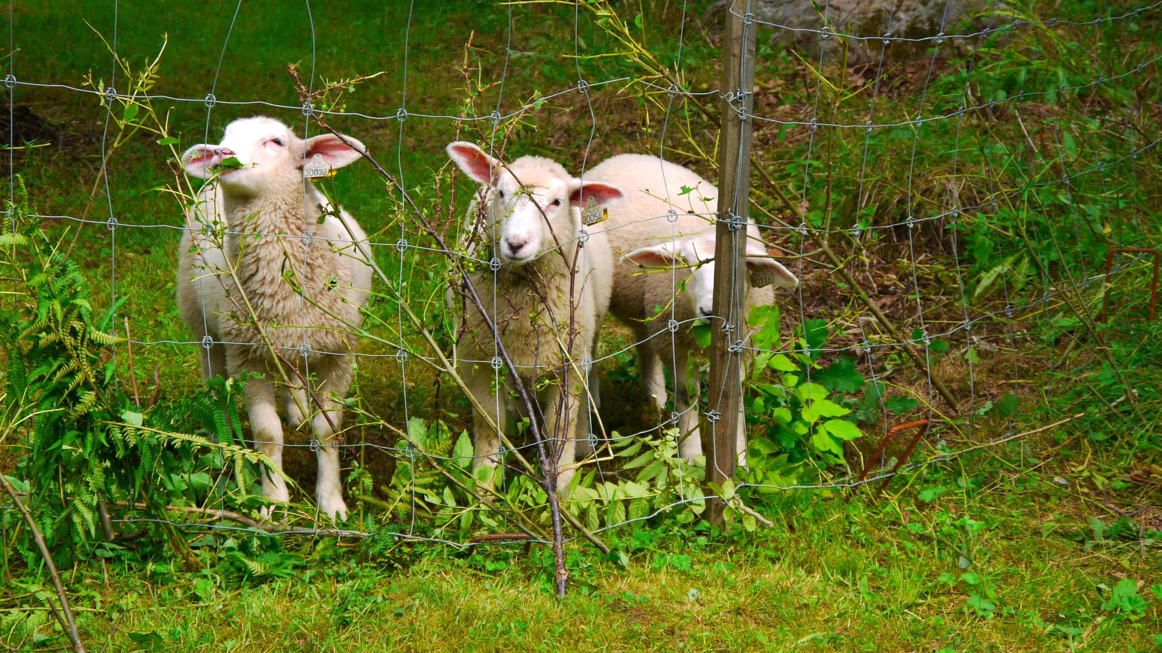 Disse sauene var på sommerferie i Lindehagen